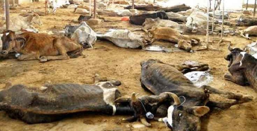 36 cows found dead in Delhi's cow shelter