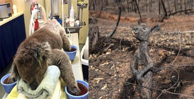 Bushfires Claim 500 Million Animal Lives Including 8,000 Koalas, Burning 5 Million Hectares Of Land, Killing 11 Humans: Australia Fires
