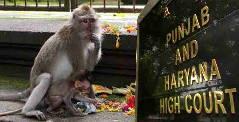Garbage Littering and Feeding Religious Offerings to Monkeys are causing Havoc and Menace in Chandigarh, Punjab & Haryana High Court demands immediate response action plan from the Authorities